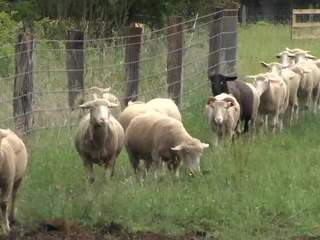 Urban Sheep Grazing