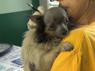 Nearly 300 Chihuahuas  were rescued in Richland county