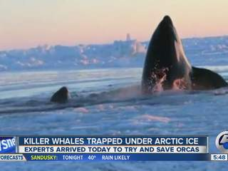 5am: Killer whales trapped in arctic ice