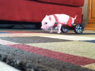 Piggy on wheel