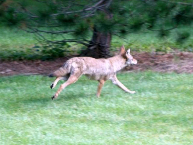 Superb Coyote In My Backyard Ideas