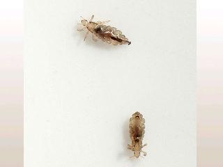 Drug-resistant lice in Ohio?