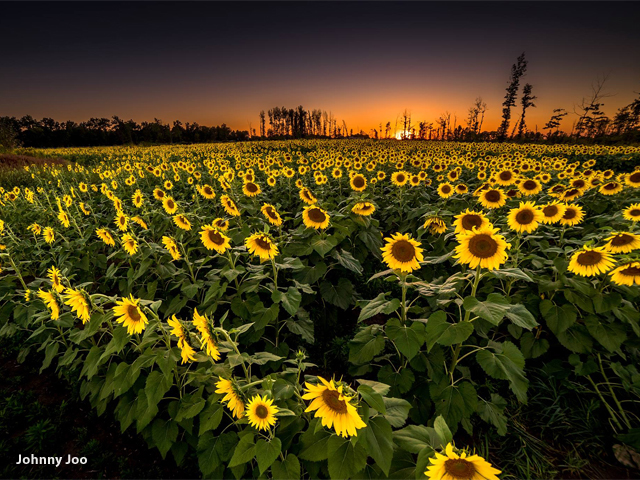 Fotografije suncokreta - Page 15 Flowers3_1442354426485_24018225_ver1.0_640_480