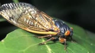 Get Ready for the Cicada Invasion