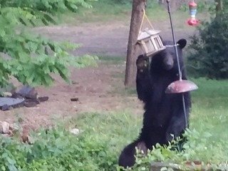 Black bear spotted in New Philadelphia