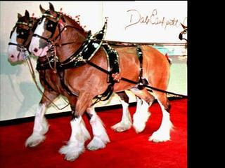 Budweiser Clydesdales to make stop in Green