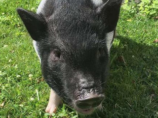 MIssing therapy pig found in