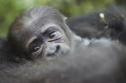 Baby gorilla is birthed in Columbus Zoo