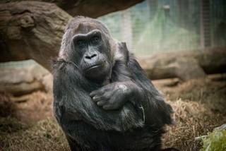 Columbus gorilla recovering after surgery