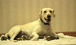 Dog adopts grieving pups as her own