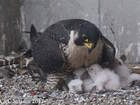 Falcon family of five calls Terminal Tower home