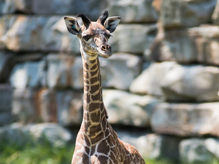 Public can now help name zoo's new baby giraffe