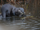 PHOTOS: River otters are back home in NEO