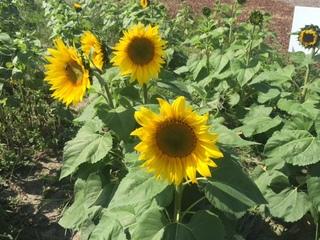 PHOTOS: Prayers from Maria sunflowers bloom