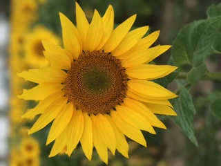PHOTOS: Prayers from Maria sunflowers bloom