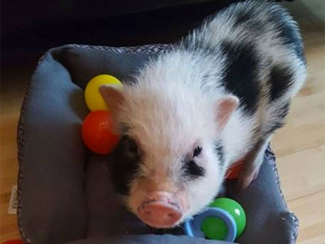 Pet mini-pig stolen during robbery found dead