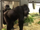 Two female gorillas arrive at Cleveland zoo