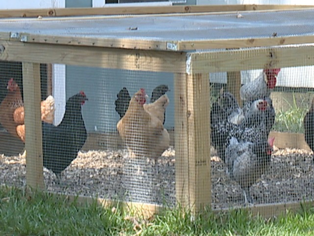 ROOSTER PROBLEM IN CLE NEIGHBORHOOD