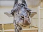 WATCH: 17-foot giraffe calls Cleveland zoo home