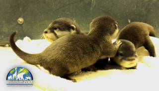 VIDEO: Otter pups at the Cleveland zoo
