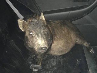 Man claims he's being stalked by a pig