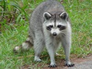 animals raccoons weasels friends - photo #20