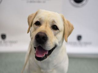 Lab is America's top dog for 26th year in a row