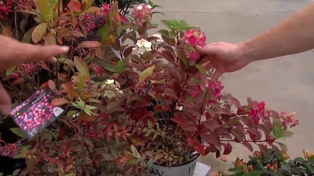 Fall Blooming Shrubs
