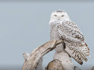 Snowy owls spotted along Lake Erie