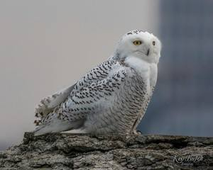 PHOTOS: Snowy owls return to Lake Erie
