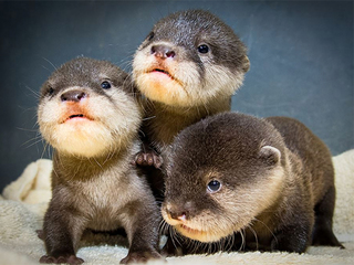 VIDEO: Otter pups make debut at Cleveland zoo