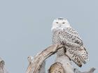 PHOTOS: Snowy owls return to Lake Erie