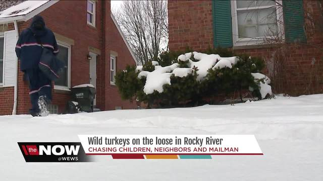 Postal carriers say aggressive turkeys stopping mail service in Cleveland suburb