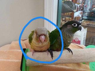 Another bird stolen from a pet store