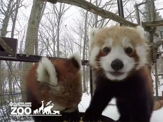 VIDEO: Red pandas caught in action at the zoo
