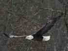 Bald Eagles return to CVNP