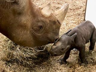 Cleveland Zoo welcomes the cutest rhino