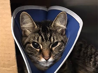 Cat seriously injured by firecracker