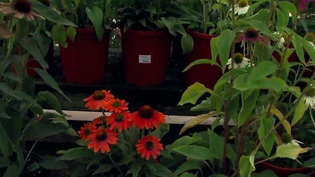 Perennials Echinacea