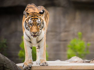 Cleveland Zoo's Amur tiger Dasha has died