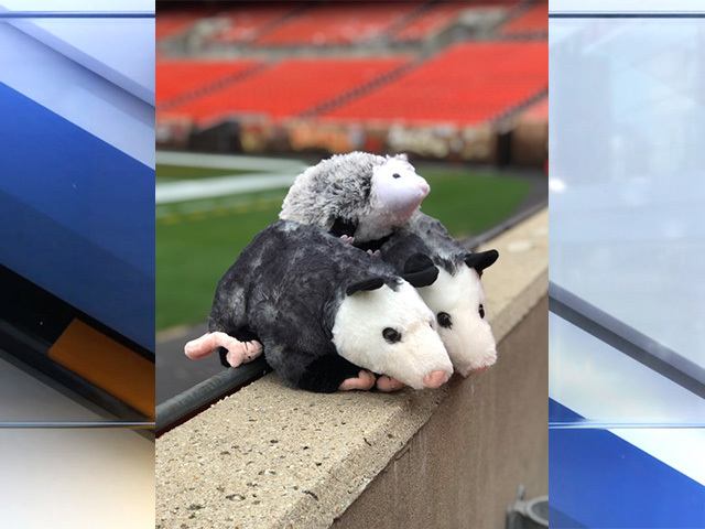 There S Another Sighting Of Rally Possum At Firstenergy Stadium But It S Not Where You Expect It